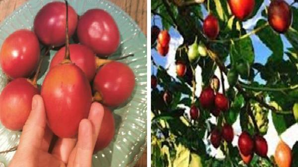 """Lâm Đồng: Ào ạt trồng cà chua lạ """"giá triệu đồng/kg"""", nông dân """"lĩnh đủ"""""""