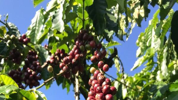 Cà phê đạt năng suất 5,5 tấn nhân/ha sau khi sử dụng N46.Plus của Đạm Cà Mau