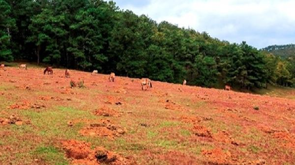 Lâm Đồng: Đồi cỏ hồng đẹp như tranh ở Suối Vàng bị lấn chiếm