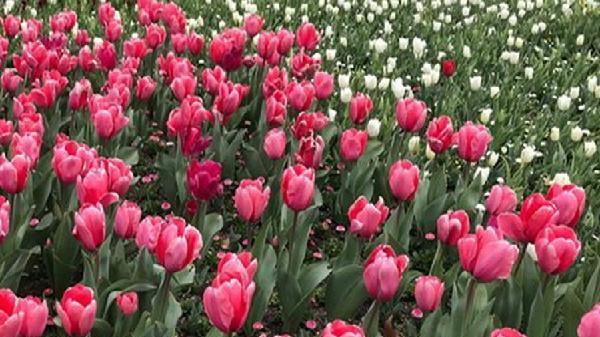 Lâm Đồng nhập khẩu nhiều giống hoa cao cấp phục vụ thị trường Tết