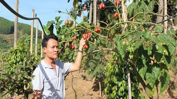 Cà chua thân gỗ ở Lâm Đồng: Ế hay không đủ cung?
