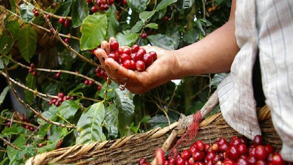 Nông sản ngày 5/12: Cà phê sụt giá về mức thấp nhất trong hơn 1 tháng qua