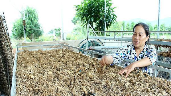 Bảo tồn và phát huy giá trị cây thuốc Việt- Bài 4: Giấc mơ vùng dược liệu