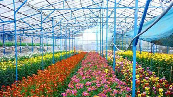 Đà Lạt: Xuống giống hơn 1.500 ha hoa phục vụ thị trường Tết