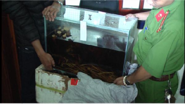 Lâm Đồng: Phát hiện 2 cá thể cọp ngâm trong bể rượu và tủ đá tại cơ sở mỹ nghệ