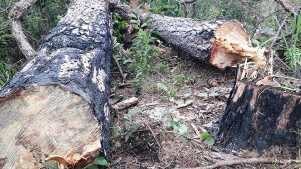 Lâm Đồng khai thác gần 750ha rừng thông 3 lá
