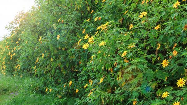 5 điều lưu tâm trước khi tới Đà Lạt mùa hoa dã quỳ