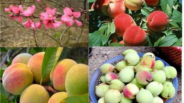 Top 7 cây ăn quả nổi tiếng nhất của Lạng Sơn
