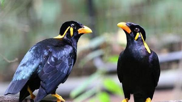 Khám phá loài chim nhồng quý hiếm, được vua chúa Việt cực yêu