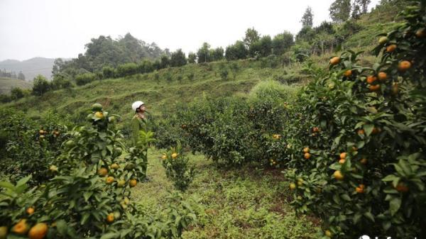 Biết kết hợp, người dân Mường Khương thu hàng trăm triệu đồng mỗi năm từ loại quả này