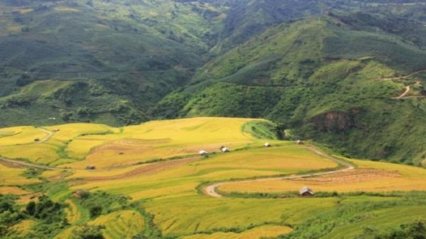 Say đắm mùa lúa vàng Bát Xát trong mây