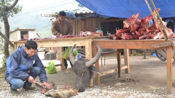 Gần 80 con trâu, bò bị chết rét ở Lào Cai