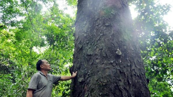 Lào Cai: Kho báu trên rừng thiêng Na Pá với những cây gỗ nghiến 500 - 600 năm tuổi