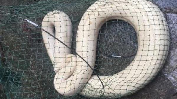 Lào Cai: Người dân bắt được trăn trắng quý hiếm
