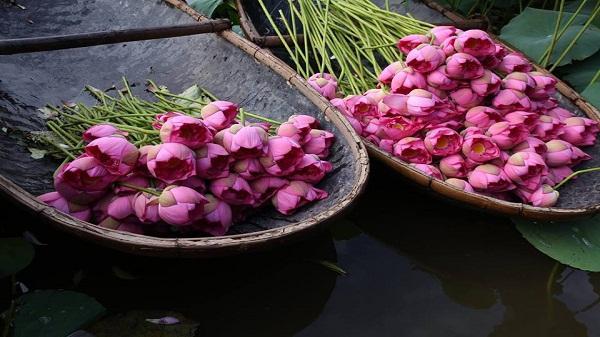 Lào Cai: Yên bình mùa Sen