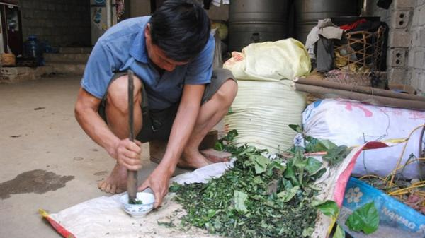 Bài thuốc '3 lá rau rừng' cứu sống hàng nghìn mạng người ở Lào Cai