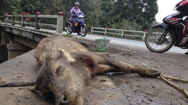 Rét hại kéo dài, nông dân Lào Cai khóc ròng