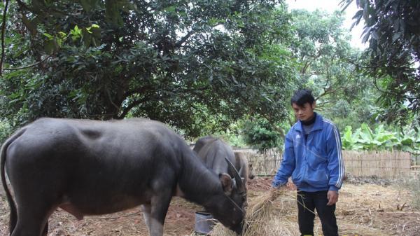 Điện Biên có hơn 400 con gia súc bị chết rét trong đợt rét vừa qua