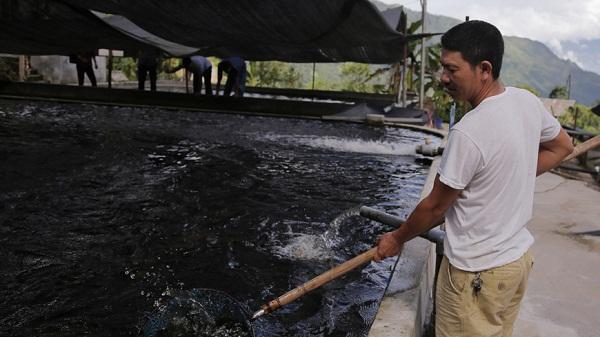 Dền Sáng: Giá cá hồi tiếp tục lao dốc, người dân lo lắng