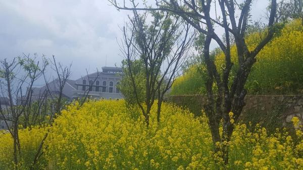 Ghé Lào Cai tháng 3, hoa cải đang vào mùa đẹp nhất khiến bạn quên cả lối về!