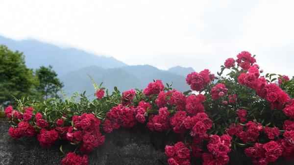 Những hàng rào hoa hồng lãng mạn ở Sa Pa