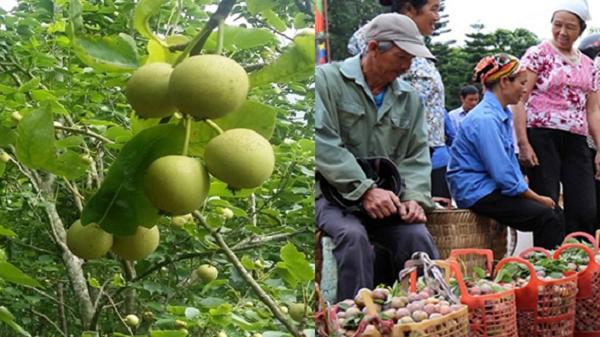 Lào Cai: Lê và mận - 2 loại quả tạo thu nhập cao cho người dân Bắc Hà