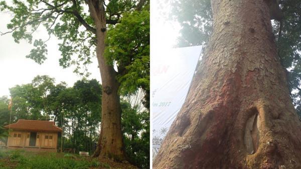 Cây lim xanh hơn 700 tuổi – báu vật làng quê ở Bắc Giang