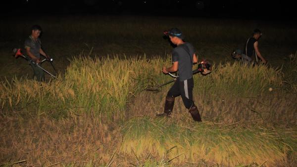Tránh nắng, nông dân Hà Tĩnh đội đèn gặt lúa xuyên đêm