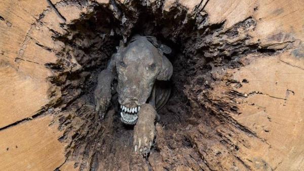 Chú chó săn xui xẻo vì mải mê đuổi con mồi để rồi hóa xác ướp mắc kẹt trong thân cây hơn nửa thế kỷ