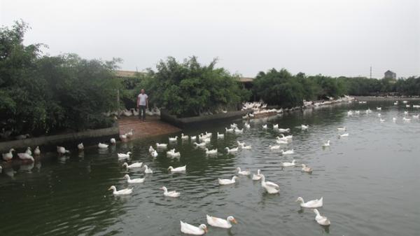 'Giật mình' xã thu trăm tỷ đồng/năm từ nghề nuôi vịt đẻ ở Hưng Yên