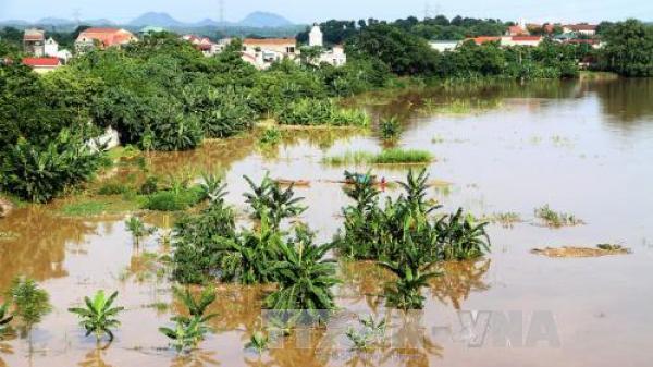 Nước sông Thao (Phú Thọ) dâng cao, nhiều tuyến đê bao bị tràn