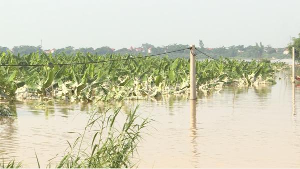 Hưng Yên: Làng đảo Vân Nghệ mất trắng hoa màu vì đợt xả lũ thủy điện và mưa nhiều