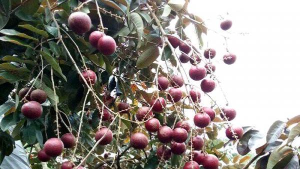 Nhãn tím - loại quả duy nhất của Việt Nam khiến Thái Lan lùng mua từng cây