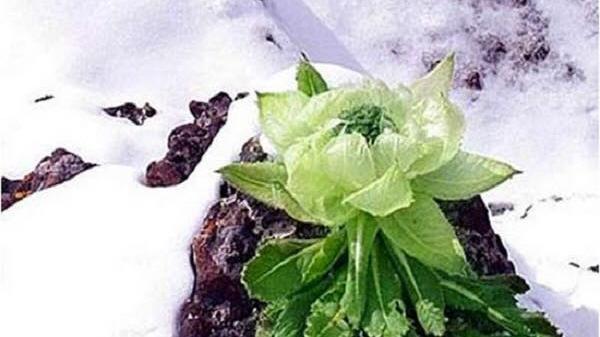 Hoa sen núi tuyết 7 năm mới nở hoa: 100 triệu/kg
