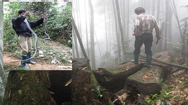 """Lào Cai: Liều mạng vào rừng sâu để vồ… """"thần chết"""""""