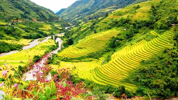 Ngắm ruộng bậc thang mùa lúa chín ở Lào Cai