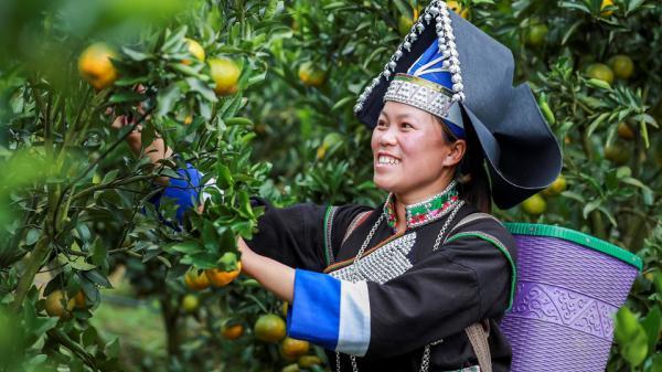 Lào Cai: Nông dân 'Trường Sa cạn' bán quýt bằng Facebook, Zalo