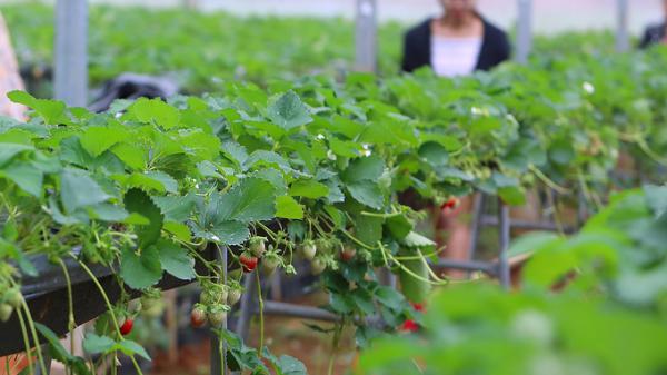 Vườn dâu tây lớn nhất Việt Nam ở cao nguyên Mộc Châu