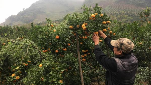 Phù Yên, Sơn La phủ xanh đất dốc bằng cây ăn quả…