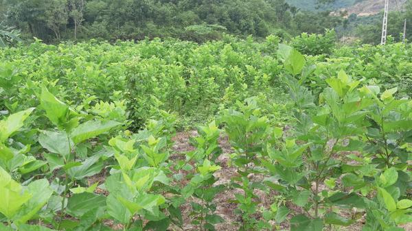 Bảo Yên: Mô hình trồng dâu nuôi tằm cho thu nhập hơn 440 triệu đồng/ha