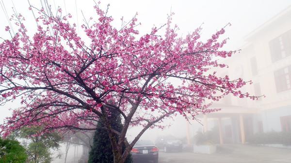 Hoa anh đào Sa Pa khoe sắc trong giá lạnh