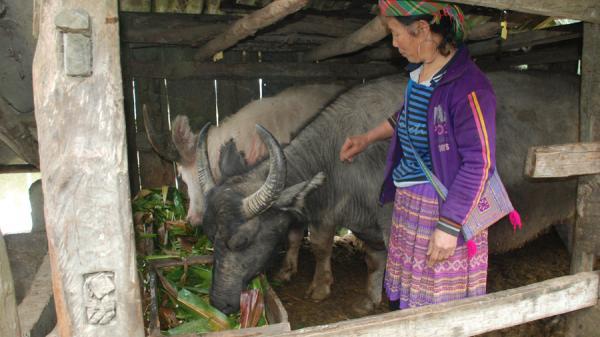 Người dân Sa Pa chủ động chống rét cho cây trồng, vật nuôi