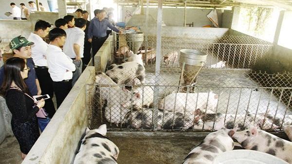 Nhiều hộ dân ở Lào Cai quay về chăn nuôi theo phương pháp truyền thống