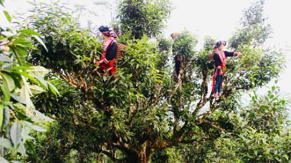 Hương trà cổ thụ giữa thiên đường mây Tà Xùa, Sơn La