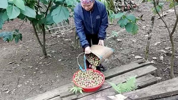 Mận trái mùa Mộc Châu