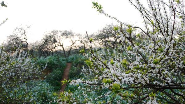 Ngược lên Mộc Châu mùa này, ngắm 'thiên đường hoa mận' nở trắng trời
