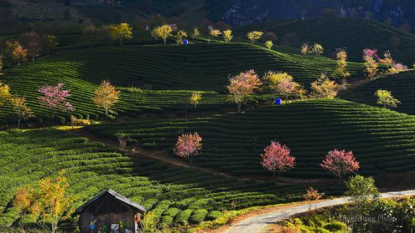 Hoa mai anh đào khoe sắc hồng giữa đồi chè ở Sa Pa