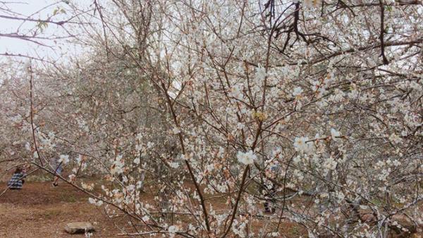 Lên Mộc Châu ngẩn ngơ ngắm mùa mơ nở trắng rừng