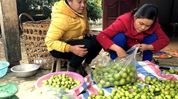 Thu nhập cao từ việc trồng táo đại ở Phong Thổ, Lai Châu