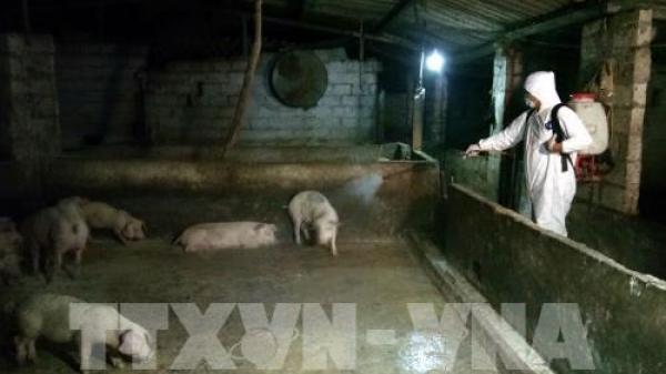 Lào Cai họp khẩn phòng dịch tả lợn châu Phi